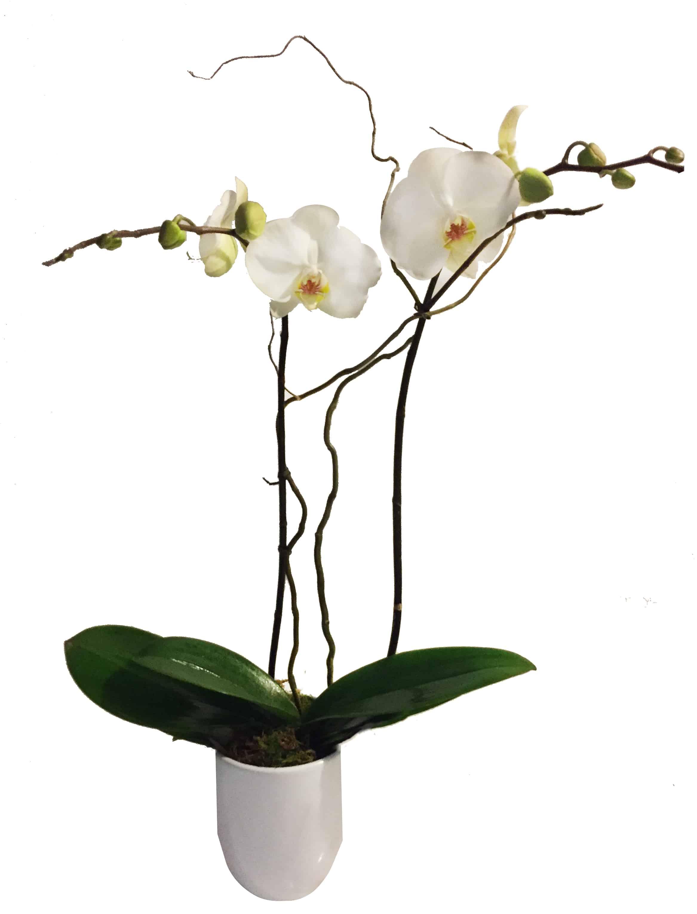 Boutique Phalaenopsis Orchid Plant