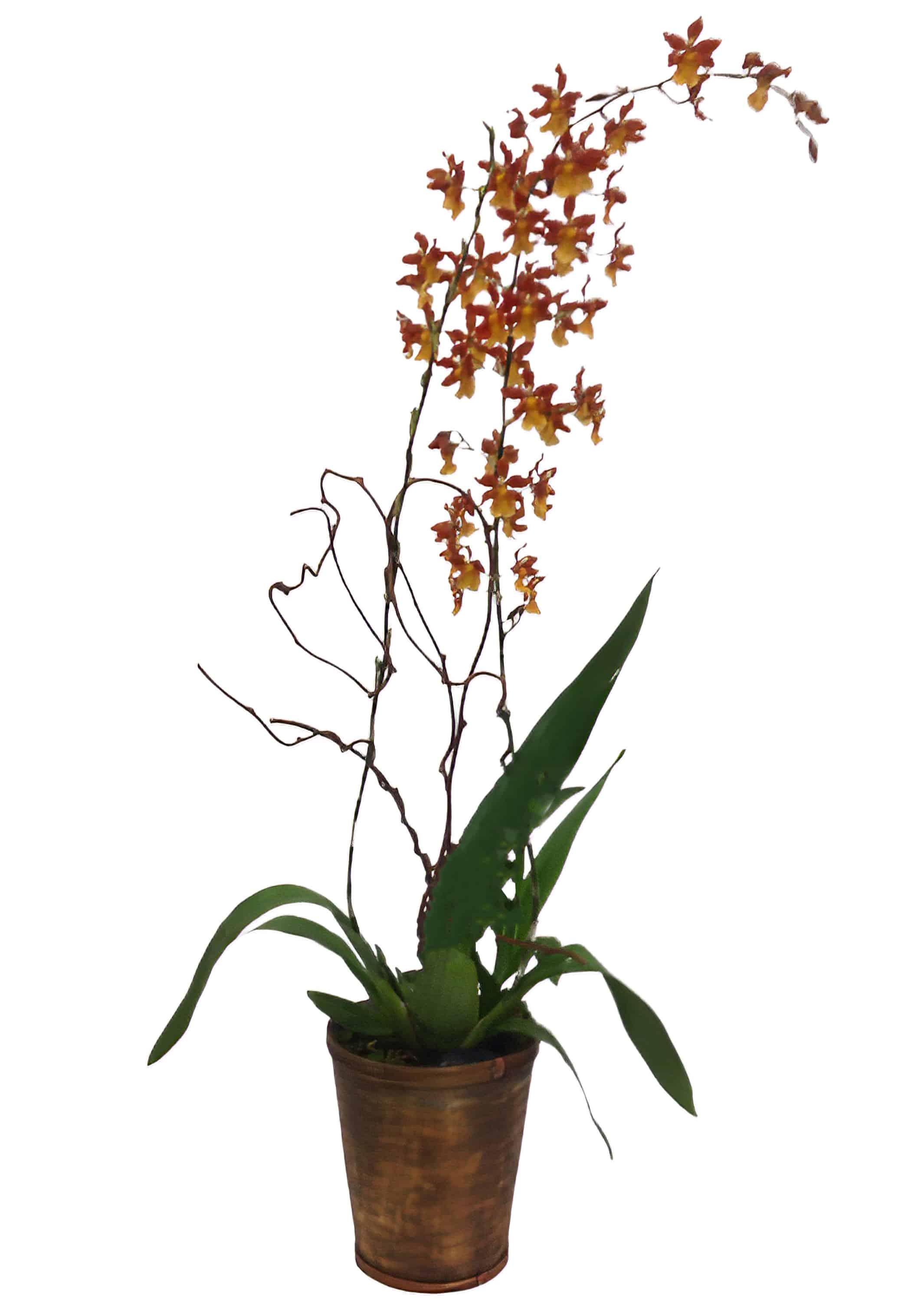 Brown Oncidium Orchid Plant