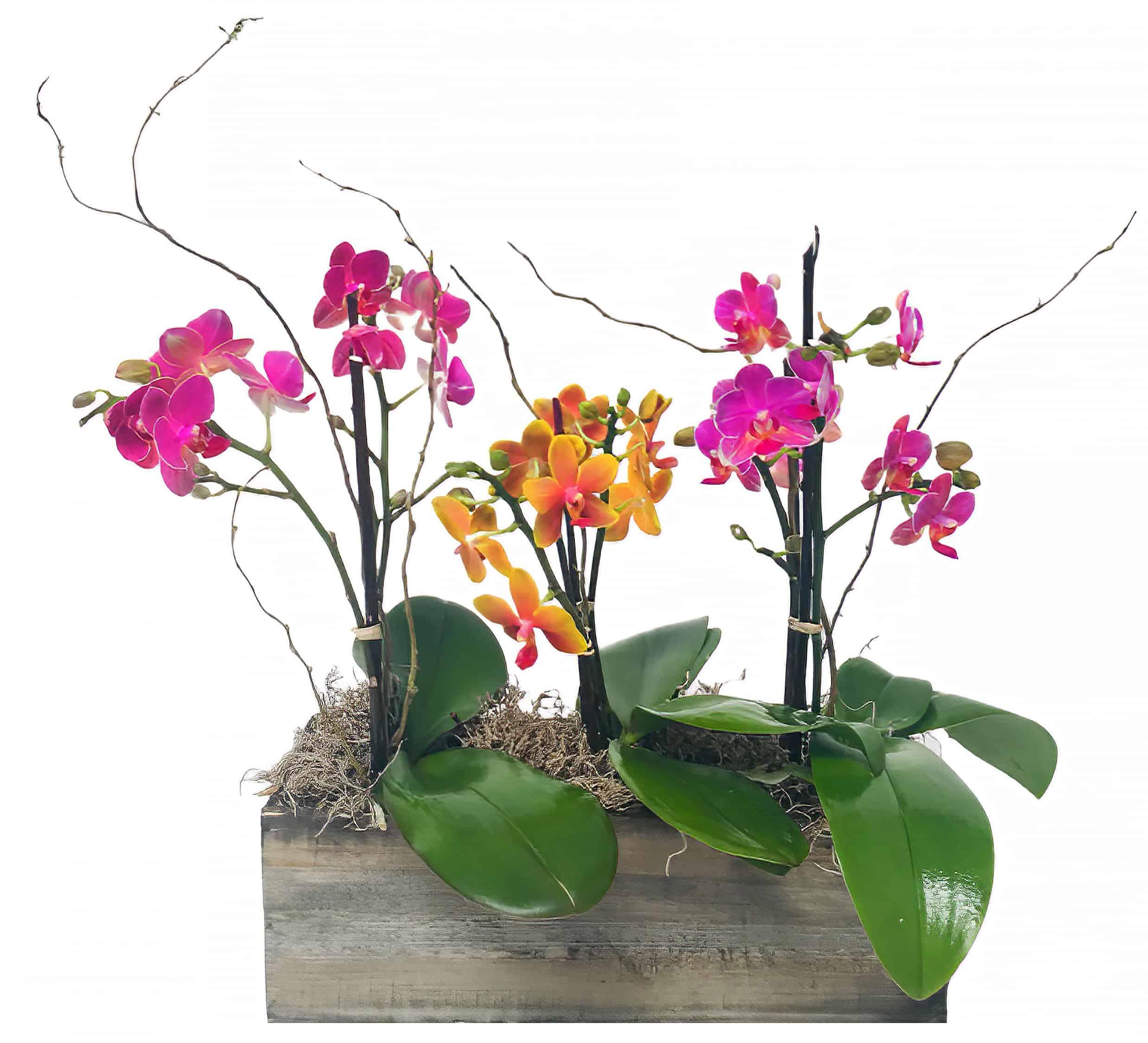 Boutique Phalaenopsis Trilogy