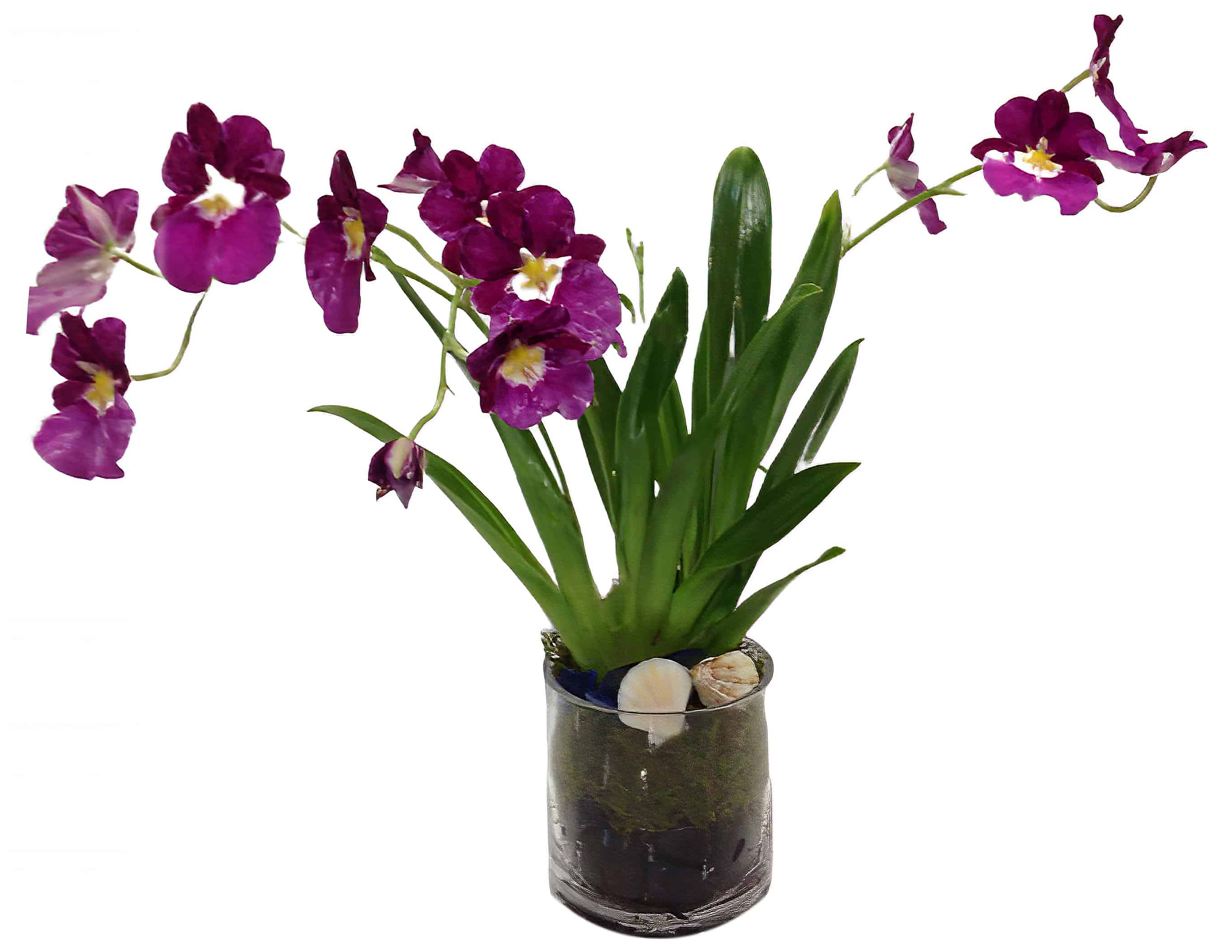 Miltonia Orchid Plant