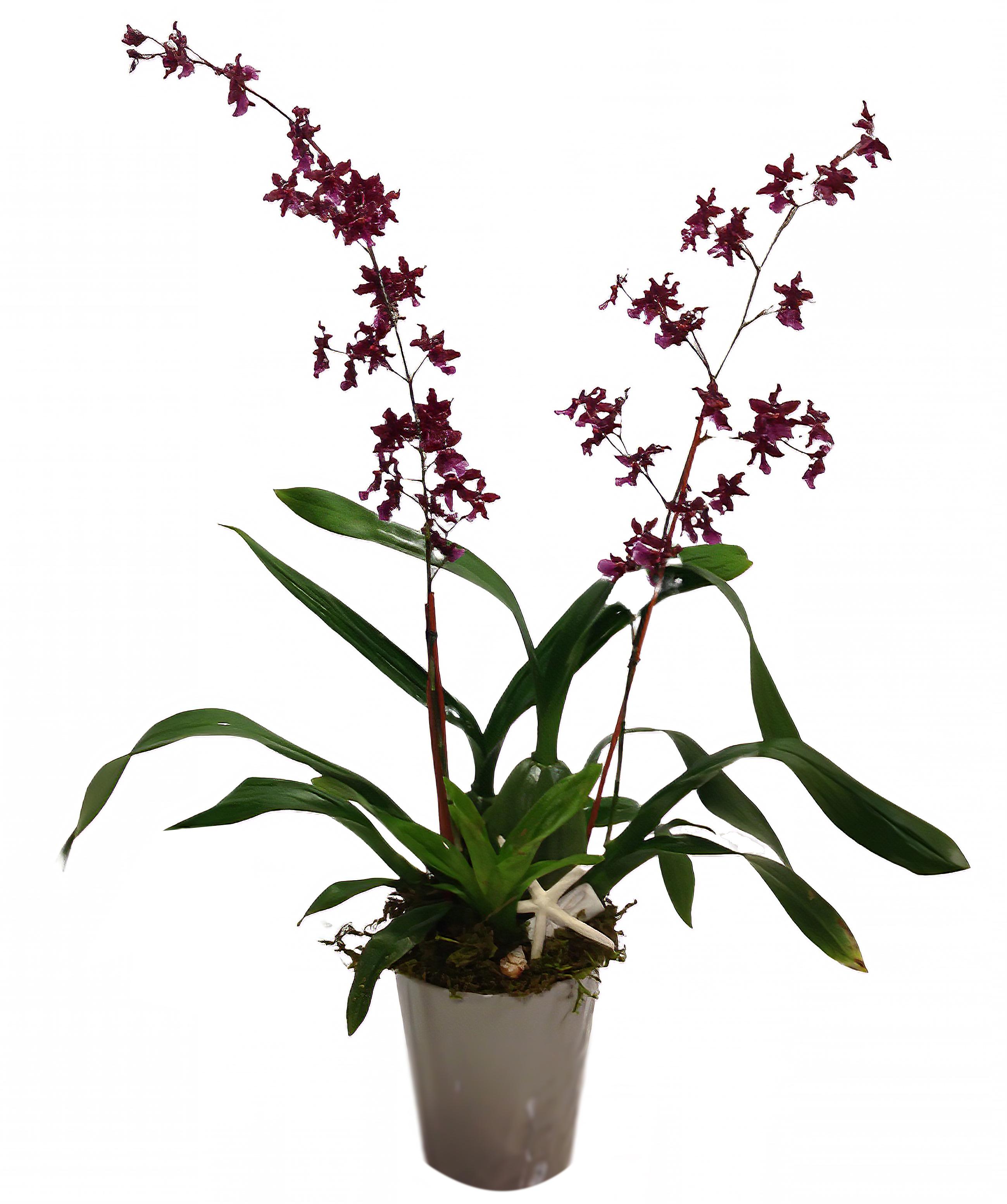Burgundy Oncidium Orchid Plant