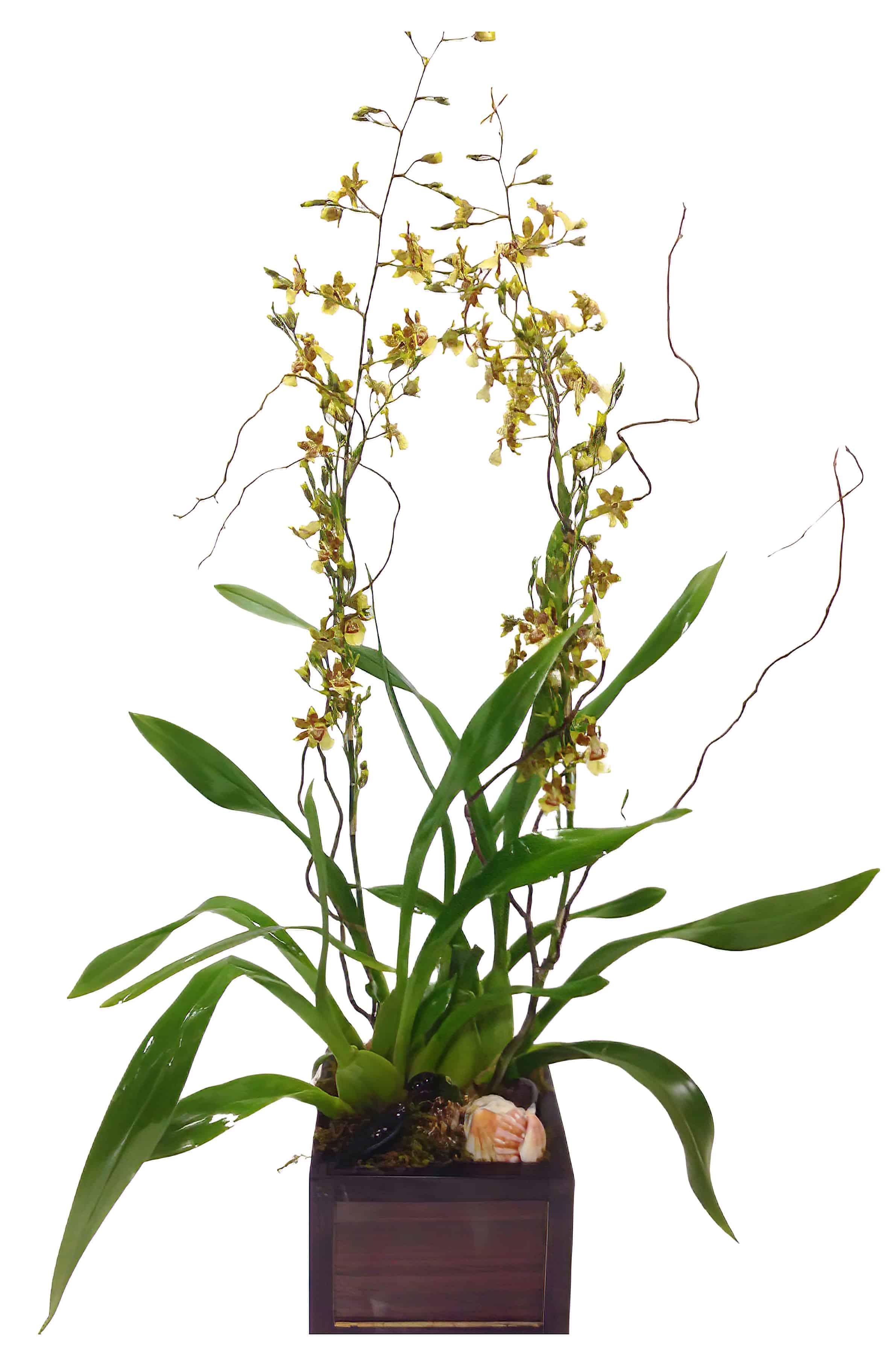 Yellow Oncidium Orchid Plant