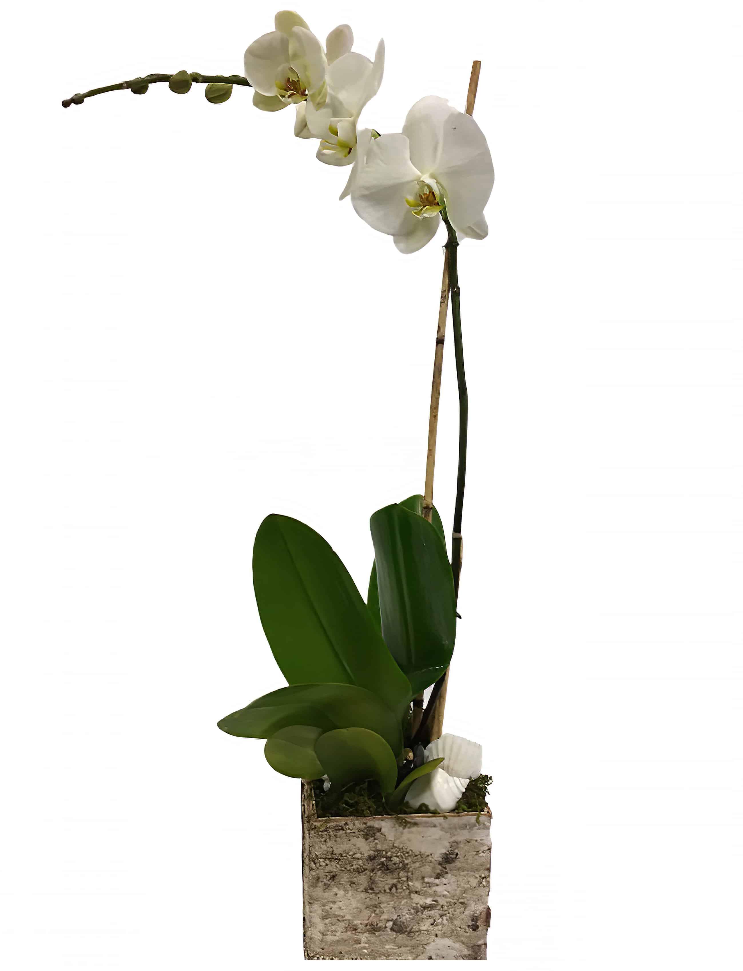 Large-Sized Phalaenopsis Orchid Plant