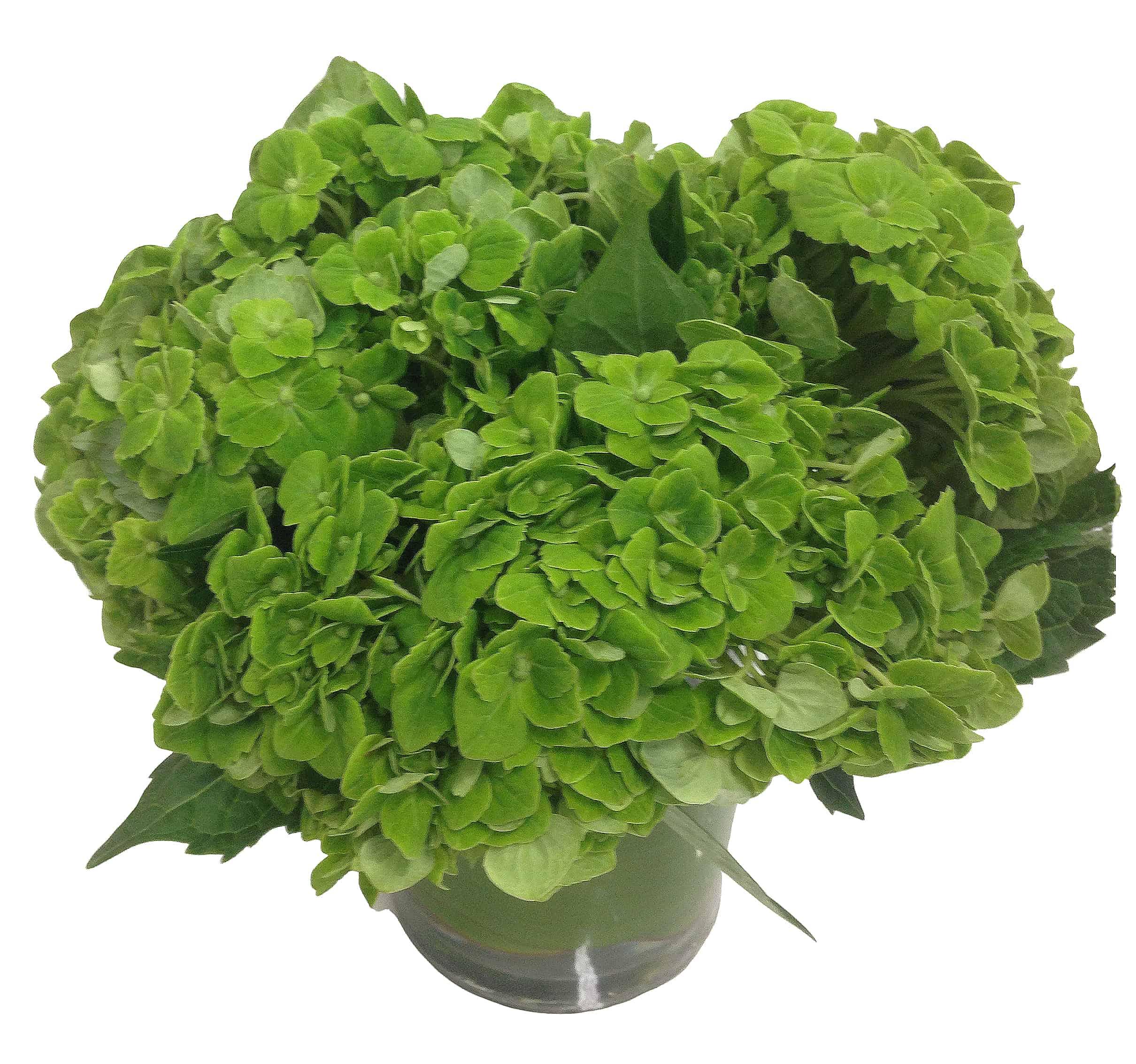Simply Green Hydrangea