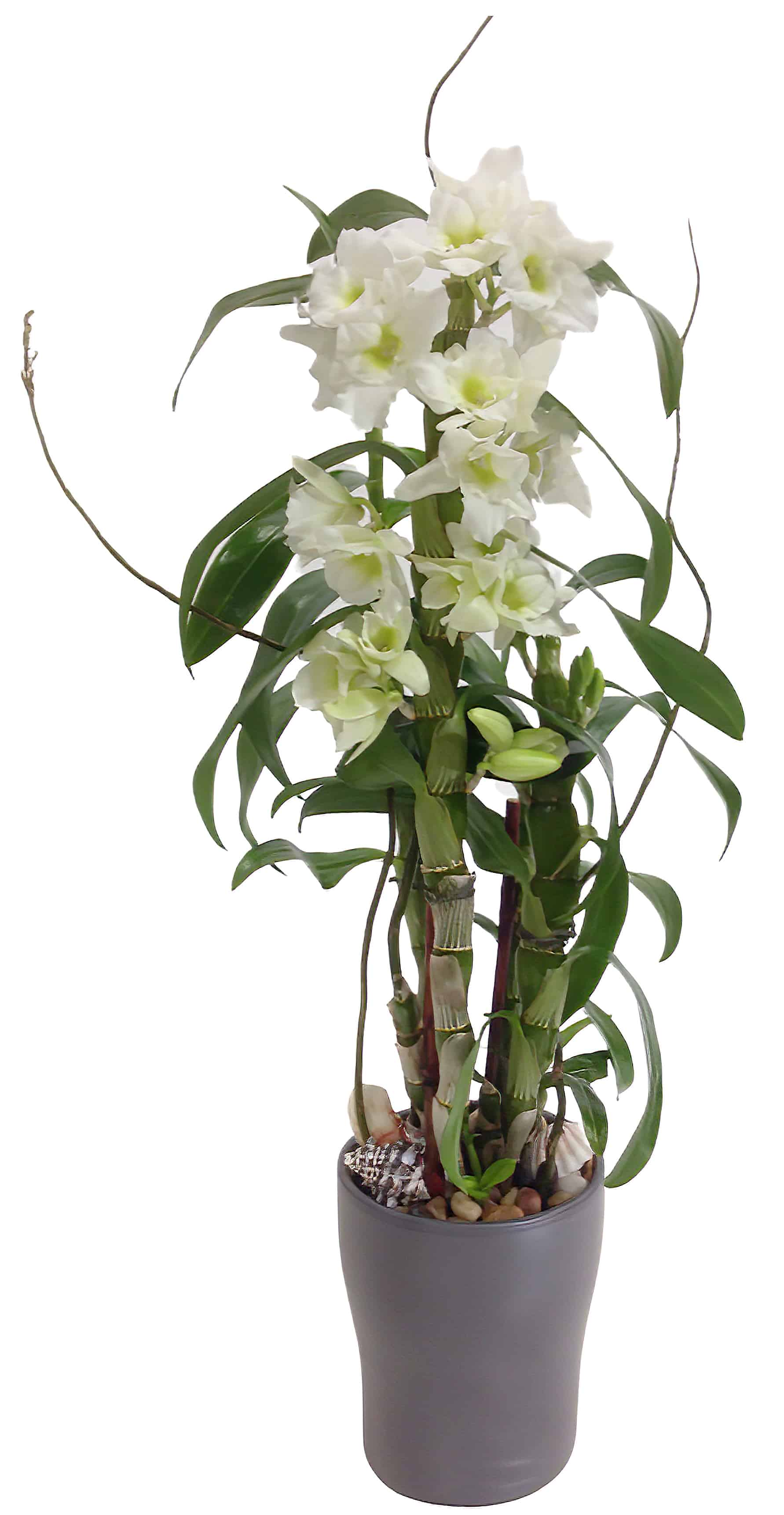Tall Dendrobium Orchid Planter