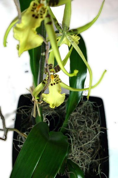 Spider Orchid (Coelogyne) - Yellow Green Plant